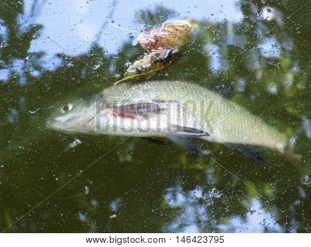 Dead fish on polluted lake, chemical industry damage