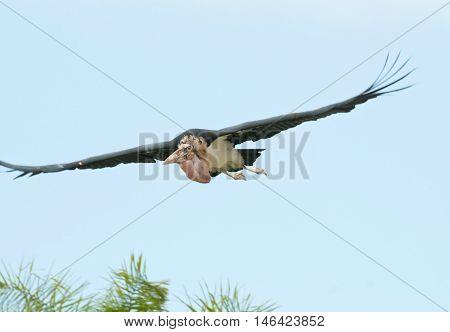 Marabou Flying In The Blue Sky