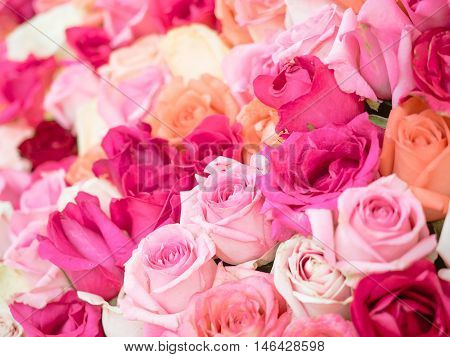 Close-up of awesome multicolored natural roses with shallow depth of field. Colorful floral background.