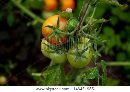 ripening tomatoes on a branch in greenhouse