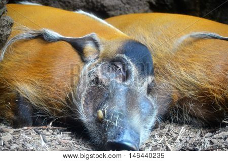 Red River Hogs sleeping in the dirt