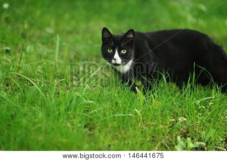 homeless black and white cat walking in the green grass, summer time