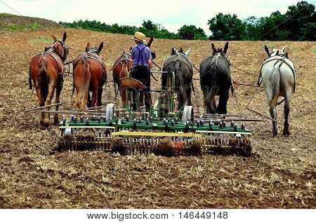 Lancaster County Pennsylvania - June 8 2015: Amish youth using a tiller pulled by a team of six donkeys plowing a field *