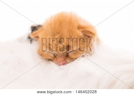 cat nursing newborn kitten. small animals kitty