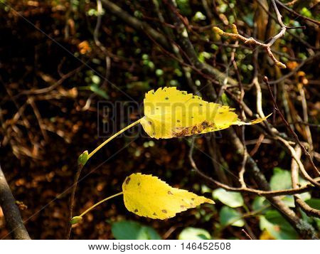 Green and changing color yellow leaves on deciduous tree in deciduous forest in wild nature during autumn