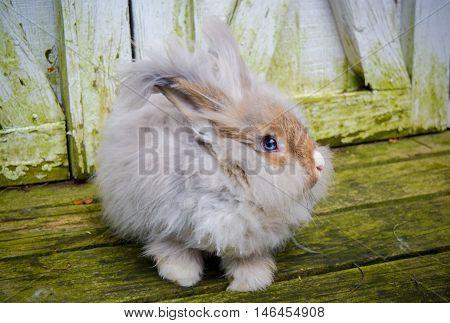 Blue eyed Chestnut Agouti English Angora Rabbit