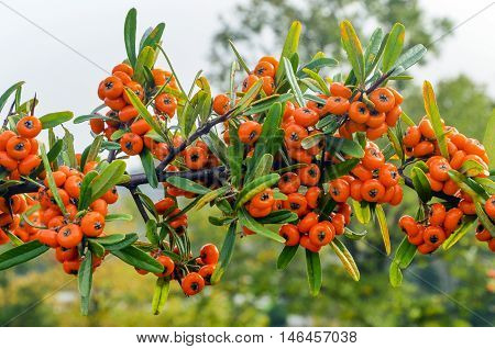 Sea Buckthorn - Hippophae rhamnoides. Sea Buckthorn is a very hardy deciduous shrub/tree native to Europe. This beautiful plant provides an abundance of highly nutritious orange berries in the autumn. A member of the Elaeagnaceae family the plant associat