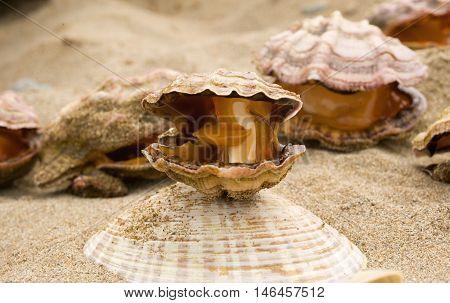Clam scallops (Mizuhopecten yessoensis) on the coast