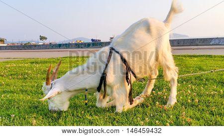 Grazing Goat