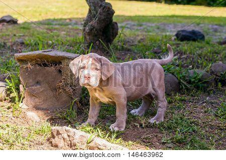 Portrait Of Purebred Neapolitan Mastiff Puppy On Green Background