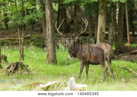 A large red deer in the woods