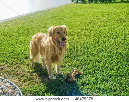 golden retriever standing on lawn in backyard with a bone