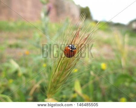 A Red Ladybug climbing on the grass