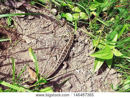 Perfect Camouflage Mountain Lizard Enjoying The Warm Sun