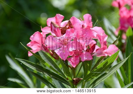 close up pink nerium oleander flower in nature garden