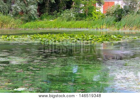 Green algae on the water surface. River pollution