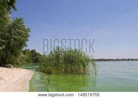 Water pollution. ecology. blooming pond.  algal blooms, green  beach on the lake