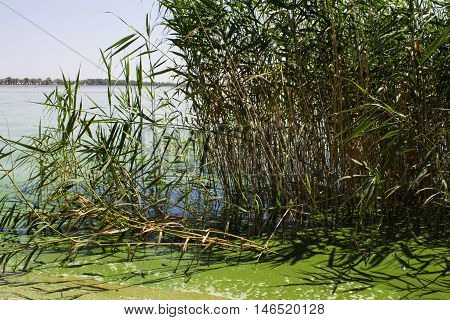 Water pollution. ecology. blooming pond.  algal blooms, green  water on the lake