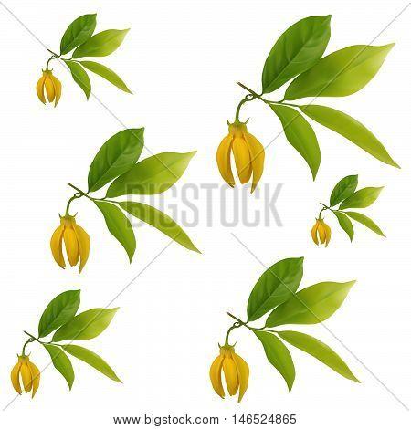 Ylang-ylang flower with leaf pattern on white backgroundvector illustration