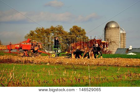 Lancaster County Pennsylvania - October 15 2015: Amish woman driving a team of six donkeys working in a field on the family farm