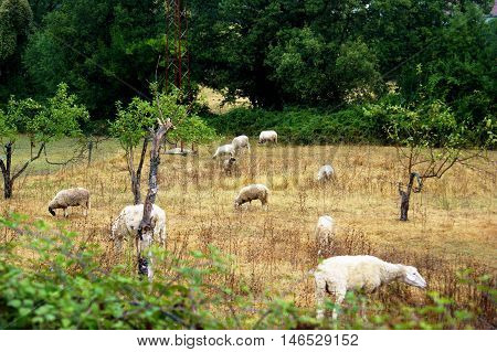A flock of sheep grazing in the autumn field