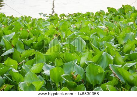 fresh green water hyacinth tree in river , Eichhornia crassipes
