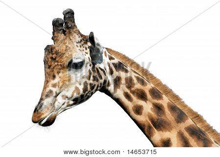 Isolated portrait of giraffe