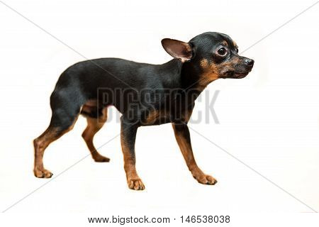 Toy terrier dog standing isolated on white background