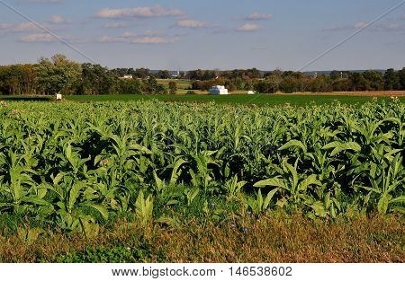 Lancaster County Pennsylvania - October 15 2015: Field of tobacco plants growing on an Amish farm