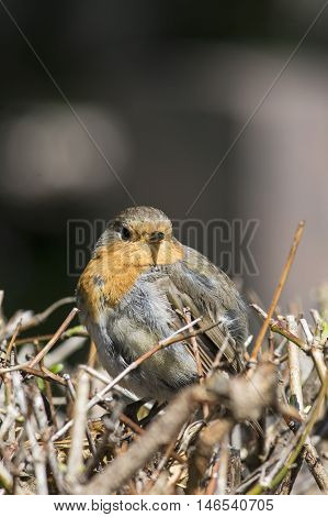 Little Robin sitting on a hedge in fall