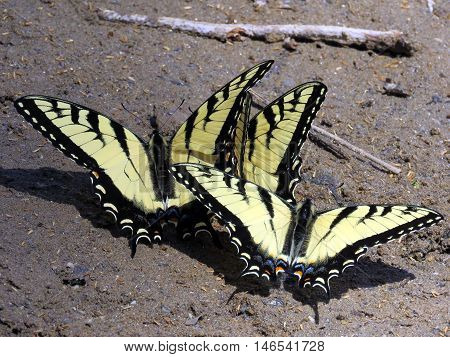 Three Eastern Tiger Swallowtail on the banks of the Potomac River near Washington DC April 2016 USA