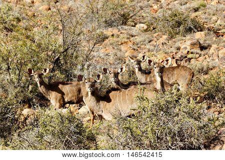Female Kudu Family - Karoo National Park