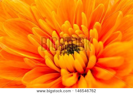 Orange Chrysanthemum Flower Centre Closeup. Beautiful Dahlia Flowerhead Macro
