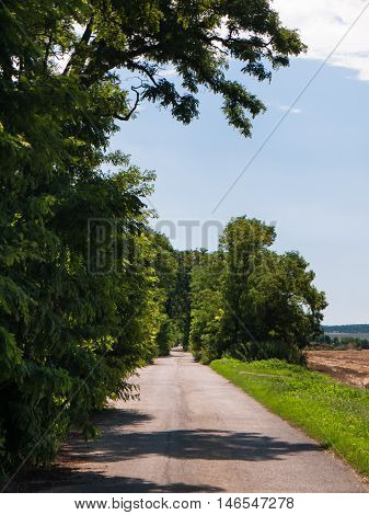 Country road with acacia trees beside at summer