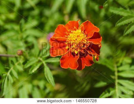 French marigold flower or Genda ful in a pot.