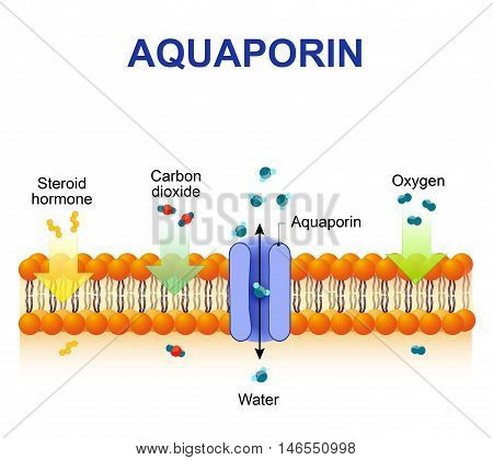 Schematic depiction of water molecule movement through of the aquaporin channel.