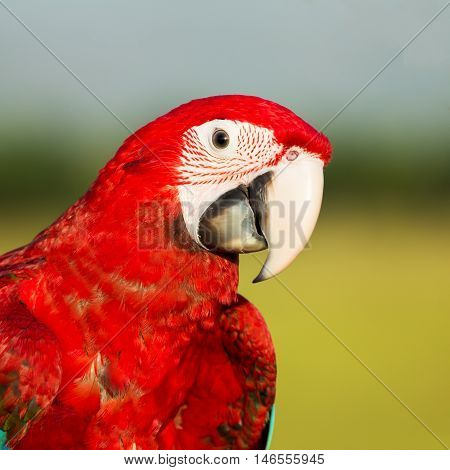 Face of parrot macaw on the evening background