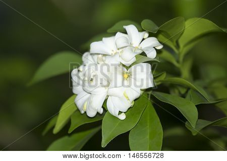 Group of Orange Jasmine flower in the morning.