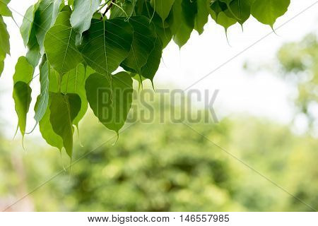 bo tree bothi tree pipal tree leaves background