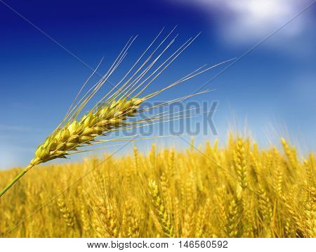 Closeup cropped image of a golden field of wheat