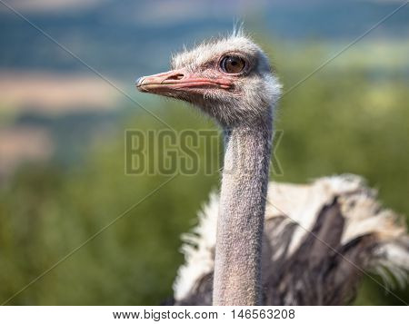 Potrait Of An African Male Ostrich On Display In Natural Setting
