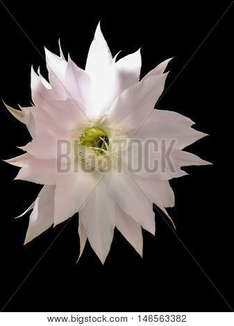 Flower of easter lily cactus isolated on black background
