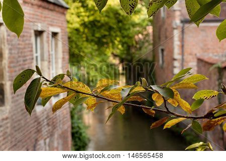 A tree branch with leaves in the Grand Beguinage in Leuven. Belgium.