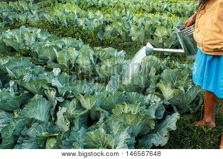 The watering cabbage in the kitchen garden.