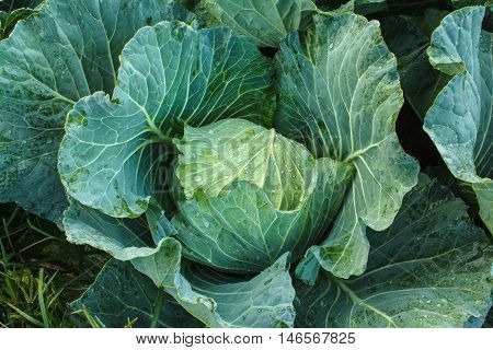 The head of cabbage in the kitchen garden.