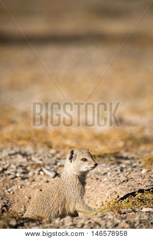 Yellow Mongoose On The Lookout For Danger