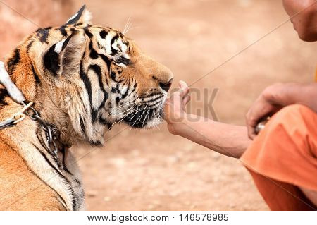 A monk playing with a tame tiger
