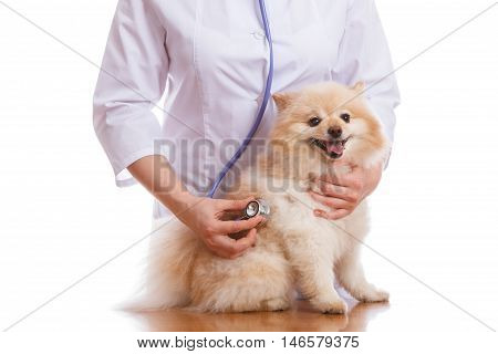 The Vet Keeps Dogs, Spitz And Listens To A Stethoscope, Isolated Background
