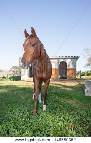 Brown Horse In Front Of Stable
