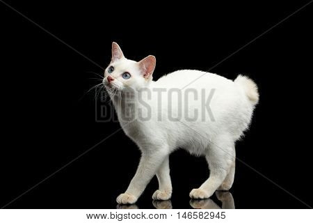 Cat of Breed Mekong Bobtail without tail, Standing and Looking up, Isolated Black Background, Color-point White Fur
